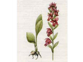 Пололепестник Зеленый (Coeloglossum viride (L.) С. Hartm.)