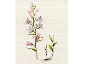Пыльцеголовник Красный (Cephalanthera rubra (L.) Rich.)