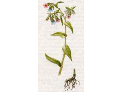 Медуница Узколистная (Pulmonaria angustifolia L.)