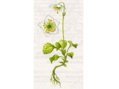 Одноцветка Крупноцветковая (Moneses uniflora (L.) A. Gray)