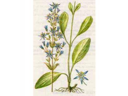Сверция Многолетняя (Swertia perennis L.)