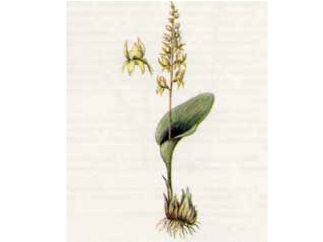 Мякотница Однолистная (Malaxis monophyllos (L.) Sw.)