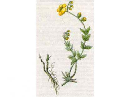 Солнцецвет Монетолистный (Helianthemum nummularium (L.) Mill.)
