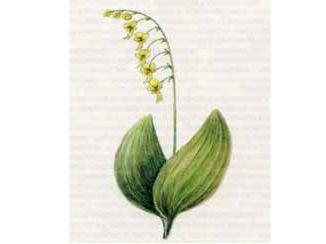 Тайник Яйцевидный (Listera ovata (L.) R. Br.)