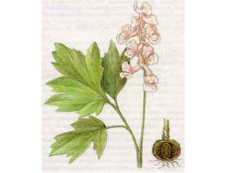 Хохлатка Маршалла (Corydalis marschalliana Pers.)