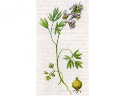 Хохлатка Плотная (Corydalis solida (L.) Clairv.)