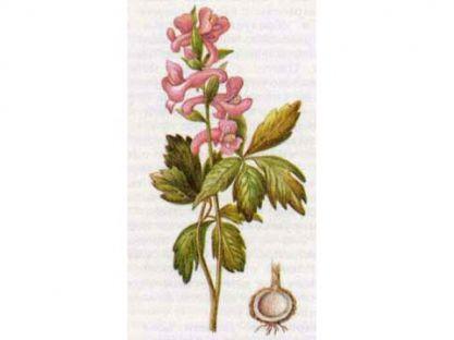 Хохлатка Полая (Corydalis cava Schweigd et Koerte)