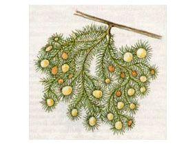 Уснея Цветущая (Usnea florida (L.) Wigg., 1780 [Lichen floridus L., 1753])