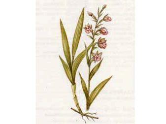 Дремлик Болотный (Epipactis palustris (L.) Crantz.)