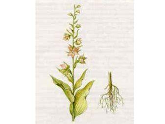 Дремлик Широколистный (Epipactis helleborine (L.) Crantz.)