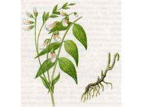 Чина Весенняя (Lathyrus vernus (L.) Bernh.)