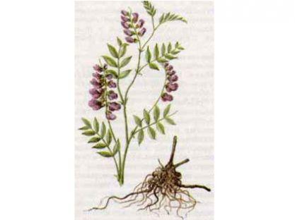 Чина Черная (Lathyrus niger (L.) Bernh.)