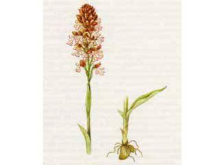 Ятрышник Обожженный (Orchis ustulata L.)