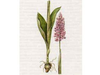 Ятрышник Шлемовидный (Orchis militaris L.)