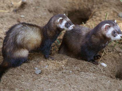 Истребители мышей