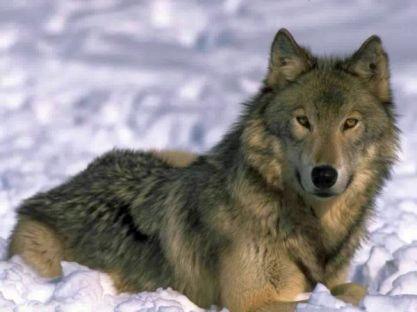 По волчьим стопам