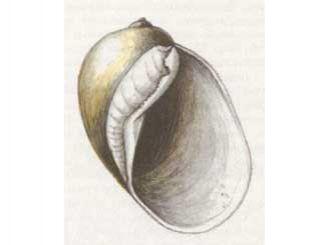 Прудовик Мабийя (Lymnaea (Myxas) mabillei (Locard, 1893))