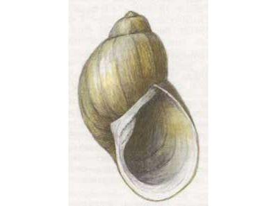 Прудовик Фулва (Lymnaea (Peregriana) fulva (Kuster, 1862))