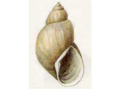 Прудовик Фуска (Lymnaea (Stagnicola) fusca fusca)