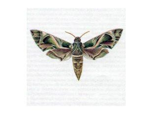 Бражник Олеандровый (Deilephila nerii Linnaeus, 1758)