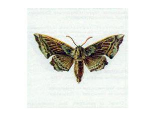 Бражник Осиновый (Laothoe amurensis Staudinger, 1892)