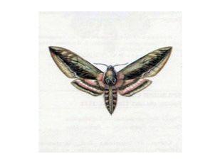 Бражник Сиреневый (Sphinx ligustri Linnaeus, 1758)