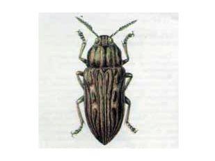 Златка Большая Сосновая (Buprestis mariana Linnaeus, 1758)