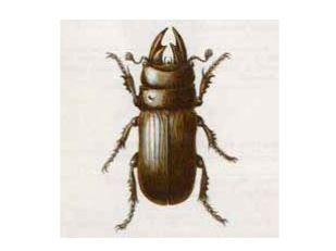 Рогач Скромный (Ceruchus chrysomelinus Hochwart, 1785)
