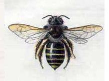 Рофитоидес Серый (Rophitoides canus (Eversmann, 1852))
