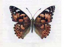 Репейница ( Vanessa cardui Linnaeus, 1758)
