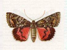 Лента Орденская Малиновая (Catocala sponsa (Linnaeus, 1767))