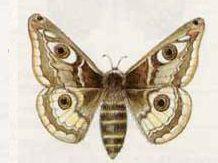 Павлиний Глаз Малый Ночной (Eudia pavonia (Linnaeus, 1761))