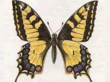 Махаон (Papilio machaon Linnaeus, 1758)