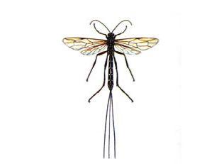 Наездник Рисса (Rhyssa persuasoria Linnaeus, 1758)