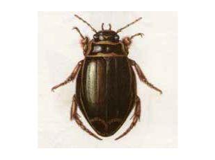 Плавунец Широчайший (Dytiscus latissimus Linnaeus, 1758)