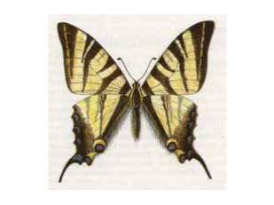Подалирий (Iphiclides podalirius (Linnaeus, 1758))