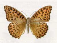 Перламутровка Большая Лесная (Agrynnis paphia Linnaeus, 1758)