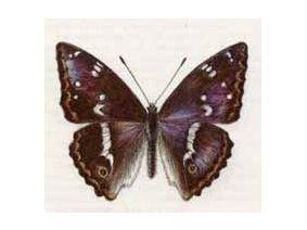 Переливница Большая (Apatura iris (Linnaeus, 1758))