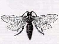 Немка Европейская (Mutilla europaea Linnaeus, 1758)