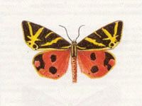 Медведица Гера (Callimorpha quadripunctaria (Poda, 1761))