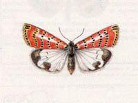 Медведица Красноточечная (Utetheisa pulchella (Linnaeus, 1758))