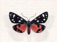 Медведица-Госпожа (Callimorpha dominula (Linnaeus, 1758))