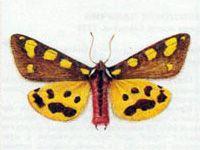 Медведица-Матрона (Pericallia matronula Linnaeus, 1758)