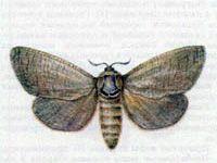 Древоточец Пахучий (Cossus cossus Linnaeus, 1758)