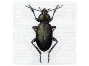 Жужелица Шагреневая (Carabus coriaceus Linnaeus, 1758)