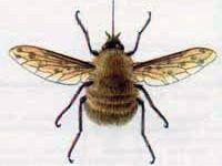 Жужжало Средний (Bombylius medius Linnaeus, 1758)
