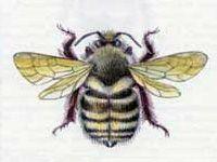 Шмель Байкальский (Bombus subbaicalensis Vogt., 1909)