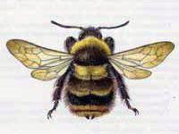 Шмель Пластинчатозубый (Bombus serrisquama F. Morawitz, 1888)