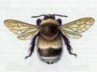 Шмель  Спорадикус (Bombus sporadicus Nylander, 1848)