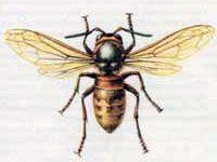 Шершень Обыкновенный (Vespa crabro Linnaeus, 1758)